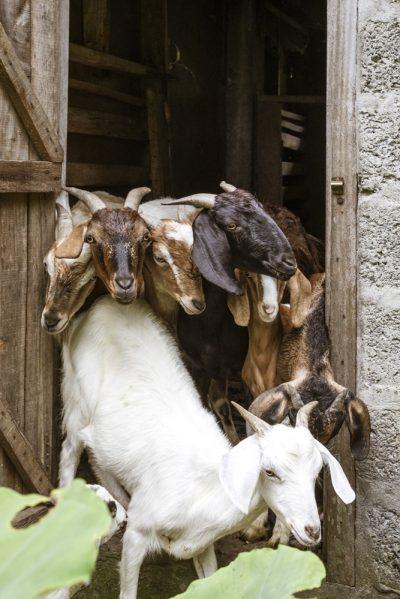 Himalayas The Farm- Goat